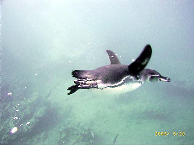 ペンギンの画像 p1_25