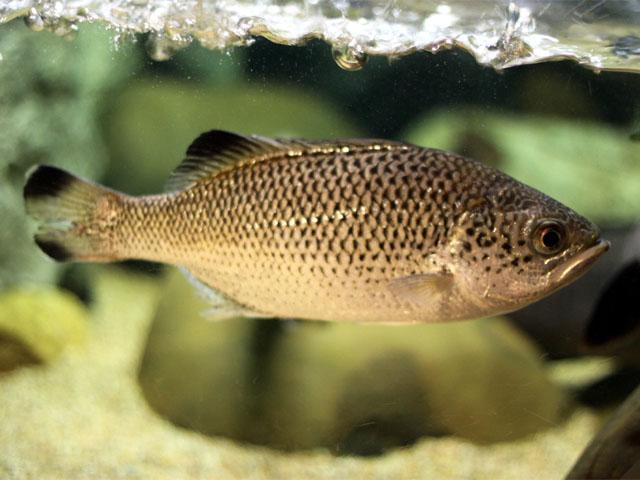 ユゴイ科(Kuhliidae)-オオクチ...