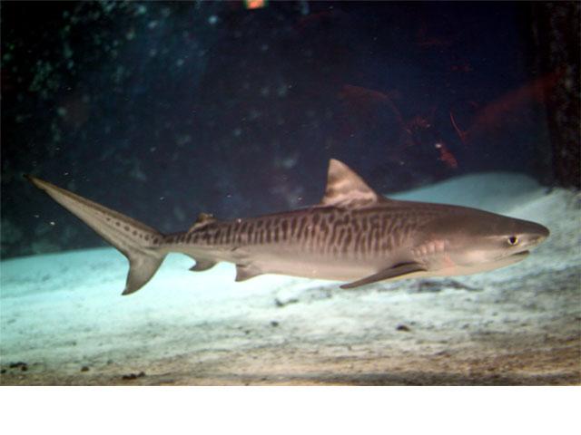 イタチザメの画像 p1_13