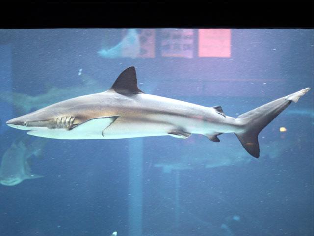 メジロザメ科(Carcharhinidae)-クロヘリメジロザメ : いろんな種類のサメまとめ - NAVER まとめ